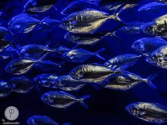 (paul sudriès) Tags: mer fish texture eau fuji underwater marin fujifilm poisson pays basque peche biarritz x20 sous argenté aquatique