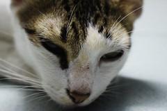 IMG_2437 (Shanmukha 6) Tags: cats kittens shanmukhakangatharan shankangatharan