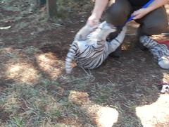 20150919_115810 (mjfmjfmjf) Tags: oregon zoo tigercub 2015 greatcatsworldpark