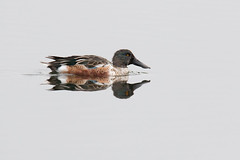 Shoveler (Andrew_Leggett) Tags: reflection bird water duck still quiet calm shoveler anasclypeata rspboldmoor andrewleggett