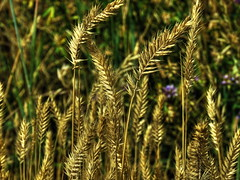 1 Witness of the Entangled Bank (Mertonian) Tags: nature beauty grass turn canon wonder 1 golden bank twist powershot witness entangled ineffable mertonian canonpowershotsx60hs robertcowlishaw sx60hs monkofthewestdesertcom 1witnessoftheentangledbank