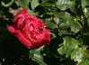 07-IMG_4236 (hemingwayfoto) Tags: rose flora pflanze masquerade blume blüte stadtpark verblüht botanik blühen duftend dunkelrot rosengewächs beetrose