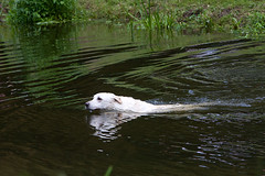 Bold Labrador swimming strongly in the river (fstop186) Tags: dog playing water swimming river labrador fetch chasing retrieve strongly