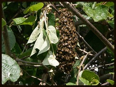 Bees (Zelda Wynn) Tags: nature weather bees sunny insects auckland swarm honeybees zeldawynnphotography kiwifruitbush