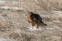 Female Northern Harrier has mouse for breakfast