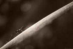 Woody on prowl! (Ramesh Adkoli) Tags: closeup muroor capturenx d800e