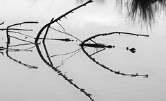 Jerrabomberra Wetlands - part 1 (screenstreet) Tags: blackandwhite reflections jerrabomberrawetlands silverefexpro 85mmf18g nikon1v1 photowalkcanberra