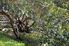 """Ficus macrophylla"" nel giardino di Villa  Whitaker a Malfitano (costagar51) Tags: italy italia natura sicily palermo sicilia bellitalia anticando panoramafotográfico thebestofmimamorsgroups greatshotss contactgroups"