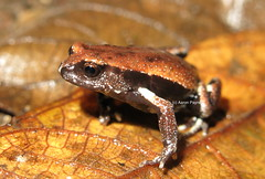 Red-backed Broodfrog (Pseudophryne coriacea) (Heleioporus) Tags: new wales near south milbank redbacked coriacea pseudophryne broodfrog