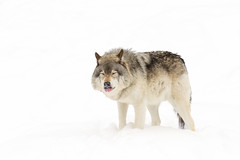 Wolf wishes (Jim Cumming) Tags: winter white canada cold nature wolf wildlife wishing timberwolf