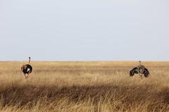 Serengeti (jorge.cancela) Tags: africa wild nature tanzania ostrich safari avestruz serengeti