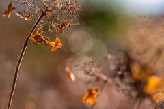 Golden (Elizabeth_211) Tags: autumn nature bokeh tennessee hydrangea 135mm jacksontn westtn utgardensjackson sherielizabeth