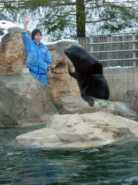 いしかわ動物園のスーパースターのアシカ君。|いしかわ動物園