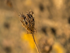 Decaying wild flower with golden morning sun (Unni Henning (also Instagram @unnikarin59)) Tags: wildcarrot decay autumn wilting morningsun outdoor nature plant deadplant macro closeup bokehbackground bokeh narrowdepthoffield warwickshire england morning sunshine