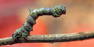 A Brimstone Moth Larva (Opisthograptis luteolata)