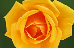 Olympic Rose 002 (DMT@YLOR) Tags: rose olympicrose olympicgames sydney australia newsouthwales golden yellow green produced 2000 sportscolours gold greenandgold petals