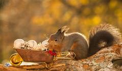 when hunger takes over (Geert Weggen) Tags: red nature animal squirrel rodent mammal cute look closeup stand funny bright sun backlight holiday halloween mask scare fear wheelbarrow skull death skeleton geert weggen ragunda bispgården hardeko