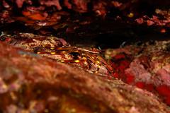 Granchio. Crab. (Percnon gibbesi) (omar.flumignan) Tags: percnongibbesi flickrtravelaward ngc allnaturesparadise lampedusa italia italy isola island mediterraneo mediterranean holiday vacanze canon g7xmk2 fantasea fg7xmk2 ikelite ds51