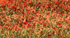 poppies (niharbb) Tags: poppies coquelicots