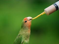 Feeding time (elly.sugab) Tags: bird birdwatching birdlover parrot lory burung animal pet wildlife feeding