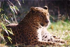 Panter in Emmen (gescand) (robreintjes) Tags: dierenparkemmen bigcats dieren zoogdieren panoramio5485344569238