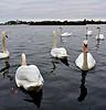 Swans at Poole Park (bikerchisp) Tags: dorset beach seaside bournemouth poole sandbanks hamworthy boscombe sunset phone pic
