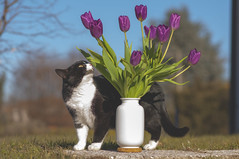 Cat & tulips (Mattia Pianca) Tags: nikon ngc 85mm 85mm18g nikon85mm18g nikkor nikkor85mm18g d90 f18 f18g portrait ritratto cat gatto animale animal domestico household flower flowers tulip tulips vaso jar winter inverno sunny sun sole 2017 bokeh viola purple pp dettagli details awsome sunday morning autofocus