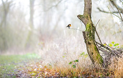 When the Red... (Gerry Gutteridge) Tags: ©gerrygutteridge composite compositeimage blend blendingmodes ps canon robin bird birds fog llap
