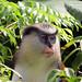 Mona Monkey, Genada
