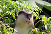 Mona Monkey, Genada (sminky_pinky100 (In and Out)) Tags: monamonkey grenada caribbean nature animal wildlife primate outdoors cruise vacation island travel tourism omot