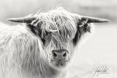 Did you bring any scissors..? (AnthonyCNeill) Tags: cow cattle scottish highland british animal longhair hairy portrait closeup upclose horns farm looking staring inquisitive blancaynegra blackandwhite weiss schwarz mono monochrome highkey beautiful sweet cute focus focalpoint nikon d750 zoom lens 70200mm outdoor countryside campo light sunlight shade shadows vache vaca schottischehochlandrinder tier