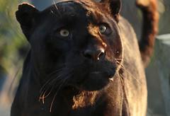 jaguar Mowgli artis JN6A6994 (j.a.kok) Tags: mowgli jaguar pantheraonca zuidamerika southamerica predator cat kat mammal zoogdier blackjaguar zwartejaguar artis artiszoo
