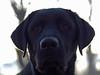 Daily Dog Challenge- Artistic Style (d2roberts) Tags: ddc dailydogchallenge dailychal dunkel backlight sunrise morning labrador blacklab