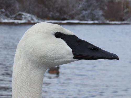 Trumpeter Swan TRUS* (Cygnus buccinator)