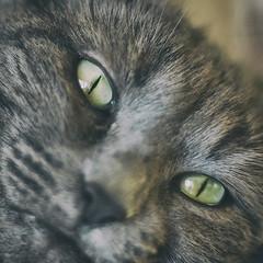 Dormez, je le veux :-) (Thierry.Vaye) Tags: cat chat yeux œil eye nikcollection analogefex regard poil 105 f25 ais gx7 panasonic kfconcept bague louna nikon