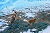 Steinböcke (welenna) Tags: alpen alps animals switzerland schwitzerland swiss steinbock steine stone tiere tier capricorn gornergrat berge mountains mountain