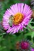 Poland-01809 - Busy as a Bee (archer10 (Dennis) 88M Views) Tags: krakow poland globus sony a6300 ilce6300 18200mm 1650mm mirrorless free freepicture archer10 dennis jarvis dennisgjarvis dennisjarvis iamcanadian novascotia canada flower bee wawelcastle