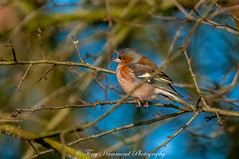 Chaffinch (phat5toe) Tags: chaffinch birds avian feathers wildlife nature wigan flashes greenheart nikon d300 sigma150500