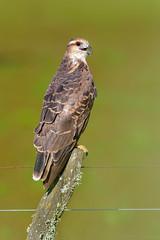Caracolero (Rostrhamus sociabilis) (Javier Chiavone) Tags: aves caracolero ceibas entrerios rostrhamussociabilis argentina