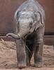 asiatic elephant Sanuk artis JN6A0620 (j.a.kok) Tags: olifant elephant elephasmaximus aziatischeolifant asiaticelephant sanuk herbifor azie asia mammal zoogdier artis