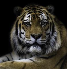 Alyona (Howard Brown) Tags: blackpool amurtiger female tiger fineart zoo blackpoolzoo