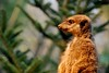 Erdmännchen (Siebeats) Tags: erdmännchen animal