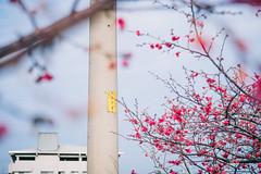 _DSC8840 (*嘟嘟嘟*) Tags: 台中 泰安 山櫻花 櫻花 警察局 taiwan