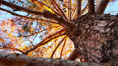 Beautiful tree..  #outdoors #angle #perspective #calming #tranquility #tree #pine #pinecones #warmth #sunlight #day #light #beautiful #barks #woods #blue #skies #outside (RodRvr) Tags: outdoors angle perspective calming tranquility tree pine pinecones warmth sunlight day light beautiful barks woods blue skies outside
