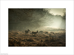 There's A Jackdaw On Your Head, Deer (John Penberthy LRPS) Tags: d750 johnpenberthy nikon richmond richmondpark backlight deer frost jackdaw morning 20365 365the2017edition 3652017 day20365 20jan17
