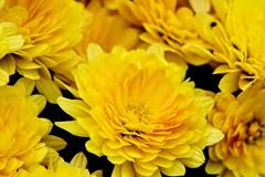 (winterprinzessin89) Tags: blütenblatt blumen blüte yellow photographie photography fotografie flowers photografie dslr nikon d3200 outdoor summer sommer gelb