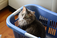 Jack in a Basket (Vegan Butterfly) Tags: animal cat cute adorable mainecoon basket fur furry laundry silly funny