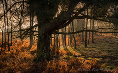 Carpet Of Gold (.Brian Kerr Photography.) Tags: edenvalley cumbria winter trees mistymorning light ferns nature landscapephotography outdoorphotography uk photography outdoor serene landscape forest