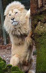 african lion Credo Ouwehands JN6A9317 (j.a.kok) Tags: leeuw lion credo afrikaanseleeuw africanlion witteleeuw whitelion pantheraleoleo ouwehands ouwehandsdierenpark ouwehandszoo kat cat mammal africa afrika zoogdier predator