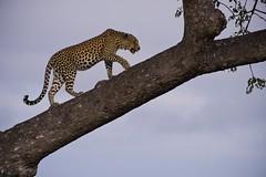 Ingwe, No. 1 (noblerzen) Tags: bigfive leopard motswari mpumalanga africa game drive safari nikon d500 southafrica africanleopard ingwe